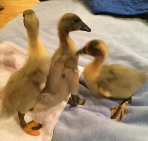 ducks at 2 weeks nov21 2014